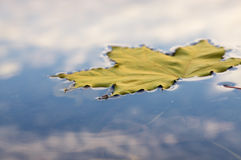 Formica sulla foglia di acero sull'acqua Fotografia Stock