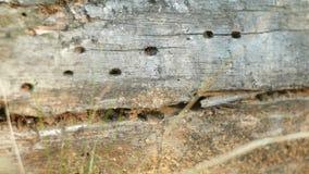 Formicaio in albero caduto Crepa nell'albero stock footage