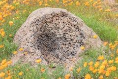 Formicaio attaccato dal formichiere Immagine Stock