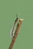 Formicarius del Myrmeleon Immagine Stock Libera da Diritti