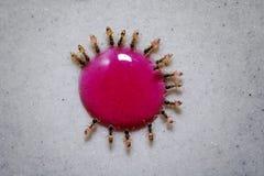 Formiche affamate che mangiano collettivamente da una goccia di goccia dello sciroppo di zucchero fotografie stock libere da diritti