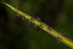 Formiche che camminano sulla pianta Fotografia Stock Libera da Diritti