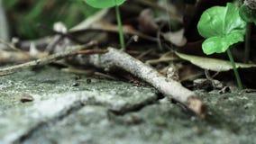 Formiche che corrono vicino sulla macro video d archivio