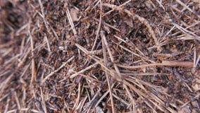 Formiche che lavorano in collina della formica closeup video d archivio