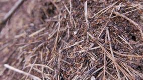 Formiche che lavorano in collina della formica closeup archivi video