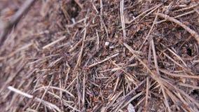 Formiche che lavorano in collina della formica closeup stock footage