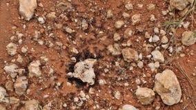 Formiche che lavorano intorno alla loro tana stock footage