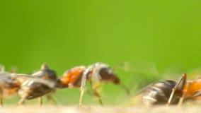 Formiche che marciano su Forest Path stock footage