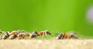 Formiche che marciano su Forest Path archivi video