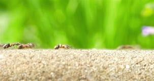 Formiche che marciano su Forest Path video d archivio