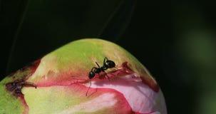 Formiche che ottengono nettare da un fiore 4K della peonia archivi video