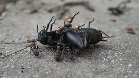 Formiche che provano a disintegrare un cricket morto stock footage