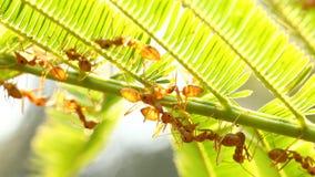 Formiche che scalano sull'albero con luce solare stock footage