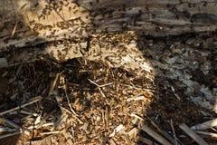Formiche che scavano in un vecchio albero Fotografia Stock