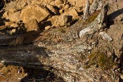 Formiche che scavano in un vecchio albero Immagine Stock