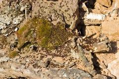 Formiche che scavano in un vecchio albero Fotografie Stock Libere da Diritti