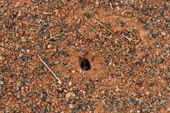 Formiche che si affrettano dentro e fuori di un foro su terra piana e rocciosa a Temora Fotografie Stock Libere da Diritti