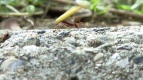 Formiche che trasportano alimento archivi video