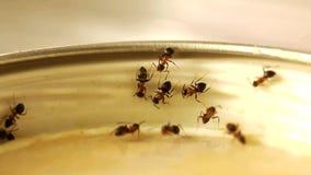 Formiche in cucina video d archivio