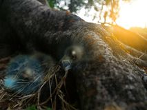 Formiche del fuoco selettivo che strisciano sulla corteccia di un albero con luce solare calda nella sera Fotografia Stock