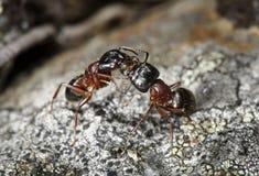 Formiche del legno (herculeanus del Camponotus) Fotografia Stock
