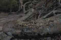 Formiche del thom di Angor Fotografie Stock