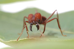 Formiche della formica che camminano sulla foglia verde Fotografie Stock