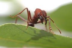 Formiche della formica che camminano sulla foglia verde Fotografia Stock