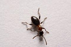 Formiche della foto di rufa di Ant Formica su un fondo bianco Fotografia Stock Libera da Diritti