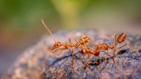 Formiche di fuoco tropicali delle formiche rosse fotografia stock libera da diritti