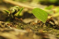 Formiche di Leafcutter (atta cephalotes) Fotografia Stock
