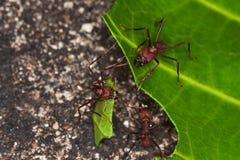 Formiche di Leafcutter che tagliano foglio in foresta pluviale. Immagini Stock Libere da Diritti