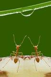 Formiche e gocce di rugiada Fotografie Stock Libere da Diritti