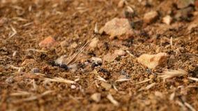 Formiche lavorare, introducente cortesia dentro il formicaio video d archivio