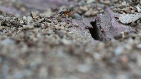 Formiche nere e rosse che lavorano insieme video d archivio