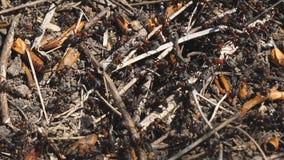 Formiche rosse accanto al loro nido nella terra stock footage