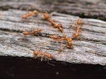 Formiche rosse che camminano su un ponte di legno Fotografia Stock
