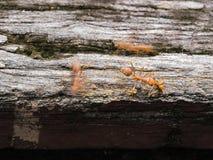Formiche rosse che camminano su un ponte di legno Fotografie Stock Libere da Diritti