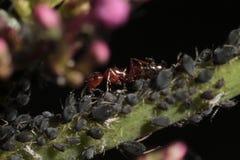 Formiche rosse che shepherding pianta-louses Immagine Stock