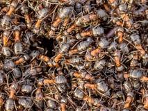 Formiche rosse che strisciano intorno all'entrata del loro nido Immagine Stock Libera da Diritti