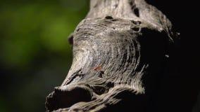 Formiche rosse che strisciano sul tronco di albero asciutto in foresta archivi video