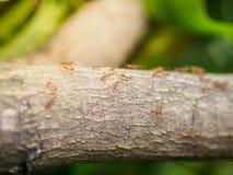 Formiche su un albero Concetto animale della fauna selvatica Fotografie Stock Libere da Diritti