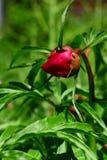 Formiche su un fiore della peonia Fotografia Stock Libera da Diritti
