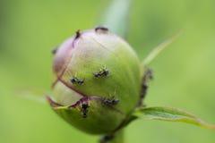 Formiche su un germoglio di fiore Fotografia Stock Libera da Diritti