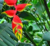 Formiche su un Heliconia hawaiano fotografie stock