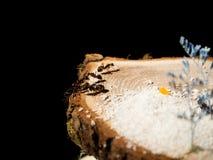 formiche su un taglio di legno Fotografie Stock