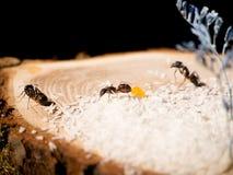 formiche su un taglio di legno Immagini Stock Libere da Diritti