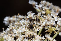 Formiche su una pianta con i fiori bianchi e le gocce di acqua Immagini Stock Libere da Diritti