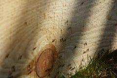 Formiche sulla plancia di legno Lavoro di squadra occupato degli insetti immagine stock