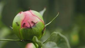 Formiche sulle peonie e sui germogli di colori Immagini Stock